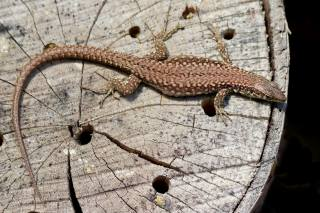 Reptiles, lizard, TOP, tail, animals