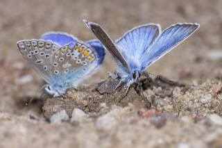 Голубые, бабочки