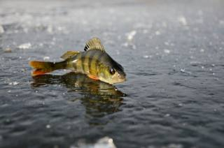 окунь, лед, рыбалка, зима, отражение