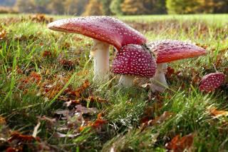 осінь, мухомор, гриби, природа, трава, листя, природа