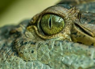 Крокодил, очей, крупним планом, голова, тварини