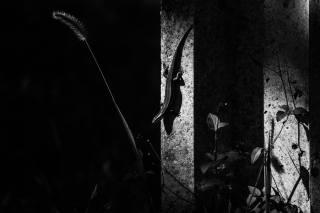 ящірка, Тварина