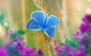 blue, butterfly, flowers