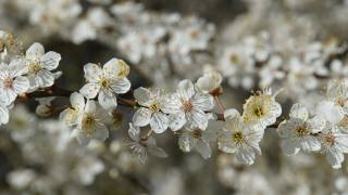 flowers, white, tree, spring, March