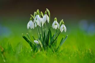 snowdrops, blurred background, grass, white, flowers