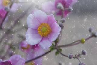 anemones, pink, flowers