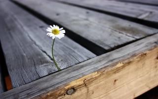 ромашка, квітка, пелюстки, дерево