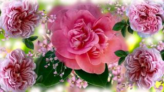 flowers, rose, graphics
