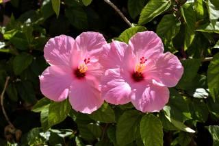 hibiscus, pink, flowers