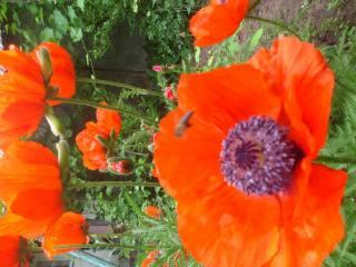summer, маки в саду