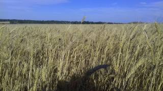 pole, pšenice, léto
