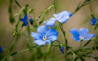 blue, flowers, bokeh, field, flowers