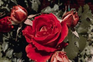 nature, flora, flower, rose, buds, leaves