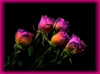 ночь, роза, подсветка
