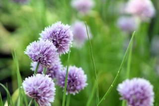 клевер, цветы, трава, макро, фон