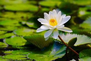 лотос, природа, пруд
