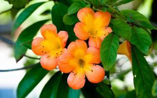 цветы, растение, лепестки, ораньжевый