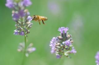 léto, včela, let, květina, pozadí, let, krása, makro, květiny