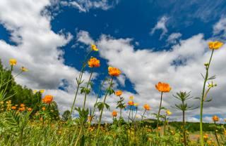 nebe, mraky, květiny, Pryskyřníky jsou