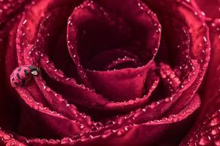 rose, Rosa, drops, ladybug, macro
