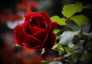 květina, růže, listy, makro