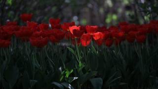 Červená, tulipán
