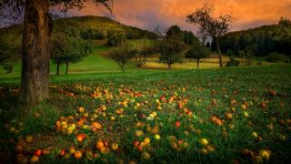 nature, landscape, hill, Forest, garden, trees, apples, fruits, sunset