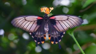 butterfly, wings, antennae, macro