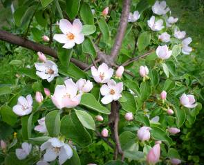 Quince, blooms, May