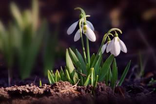příroda, jaro, květiny, sněženky, petrklíče