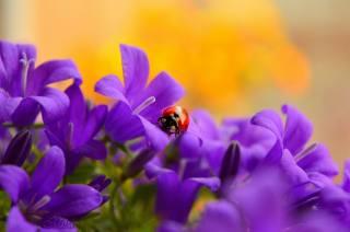 mika, природа, квіти, Дзвіночки, жук, божа корівка, макро