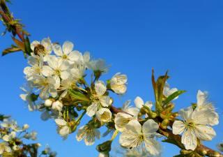 včela, kvetoucí, Duben