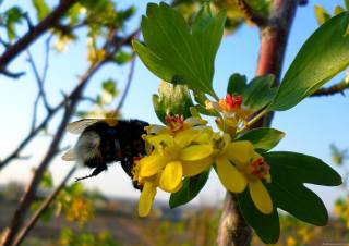 currant, flowering, bumblebee, April