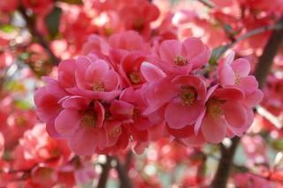 jaro, růžové, květiny, strom