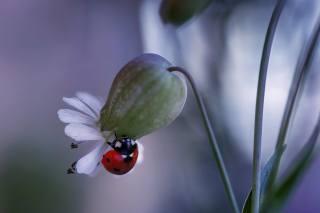 Rina Barbieri, макро, природа, квітка, жук, божа корівка