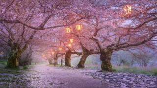 Japonsko, příroda, krajina, Alej, stromy, sakura, kvetoucí, večer, světla