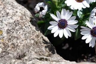 kámen, květiny, okvětní lístky
