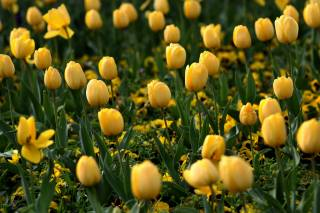 tulips, yellow, a lot