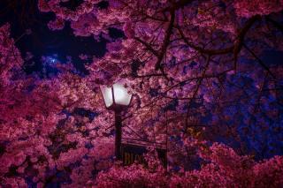 flowering, Sakura, petals, lantern, leaves, spring