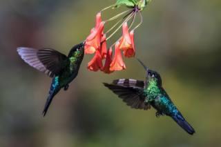 квіти, птахи, клюв, ПАРА, пір'я, в польоті, колібрі