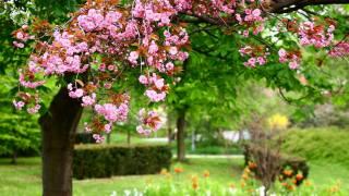 flowering, Sakura, spring, Park