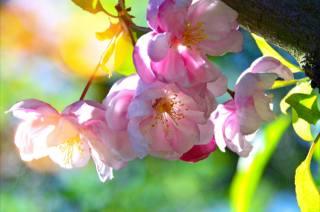 nature, spring, tree, flowering, flowers, Sakura, leaves