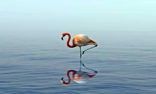 růžová, flamingo