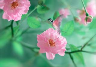 природа, макро, гілка, квіти, троянди, бутони, метелик, Бражник