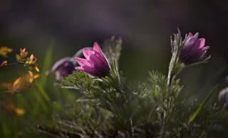 листья, макро, цветы, ветки, природа, весна, флора, сон-трава, Неля Рачкова