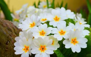 белые, нежные, цветы, примула