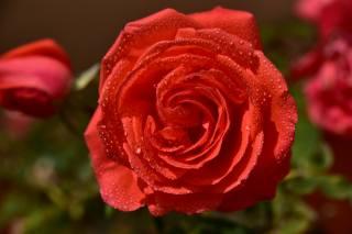роза, лепестки, цветы