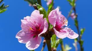 весна, персик, розовый, лепестки