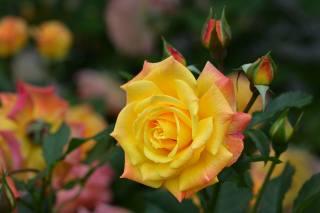 роза, квітка