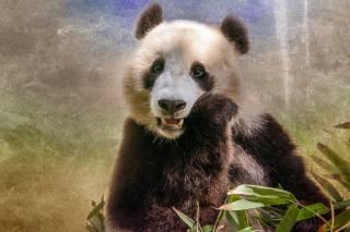 панда, млекопитающее, животные